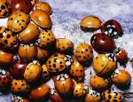 Population variation in ladybugs