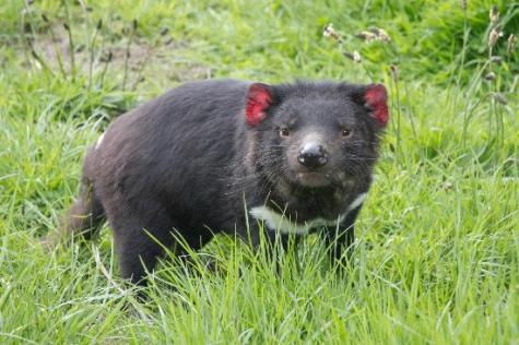 An uninfected Tasmanian Devil. The infected ones look so pathetic I just couldn't post a picture of one of them.