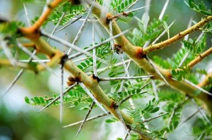 Hundreds of species of acacia have abundant spines which are modified branches. These spines may be thin and long or highly inflated at the base. The latter often are hollow at maturity and ants may live in them.
