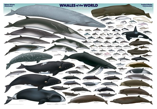 The cetaceans of the world (88 total here) showing their size.  Note the human swimmer for size comparison.  This was illustrated by Uko Gorter and can be purchased as a poster at http://acsonline.org/shop-acs/whales-of-the-world-poster/
