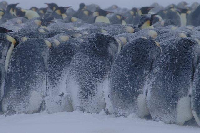 Emperor penguins huddling in Emperor Penguins Huddle