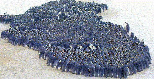 Emperor penguins huddling Emperor Penguins Huddle