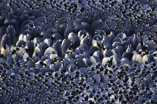 The center of a male emperor penguin huddle. Image credit: Robyn Mundy.