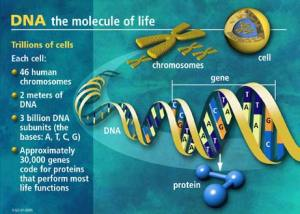 DNA-cell-human-facts