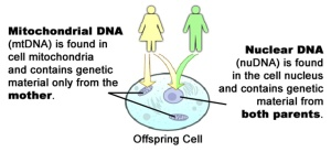 "The ""Other"" human genome. The mitochondrial genome is found in your mitochondria and is only inherited from your mother. So with respect to the genes of your mitochondria you are 100% like your mom."