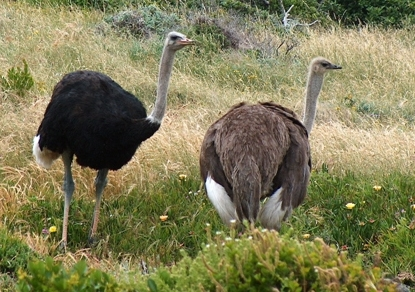 Male and female ostrich from South Africa. Image: Wikipedia