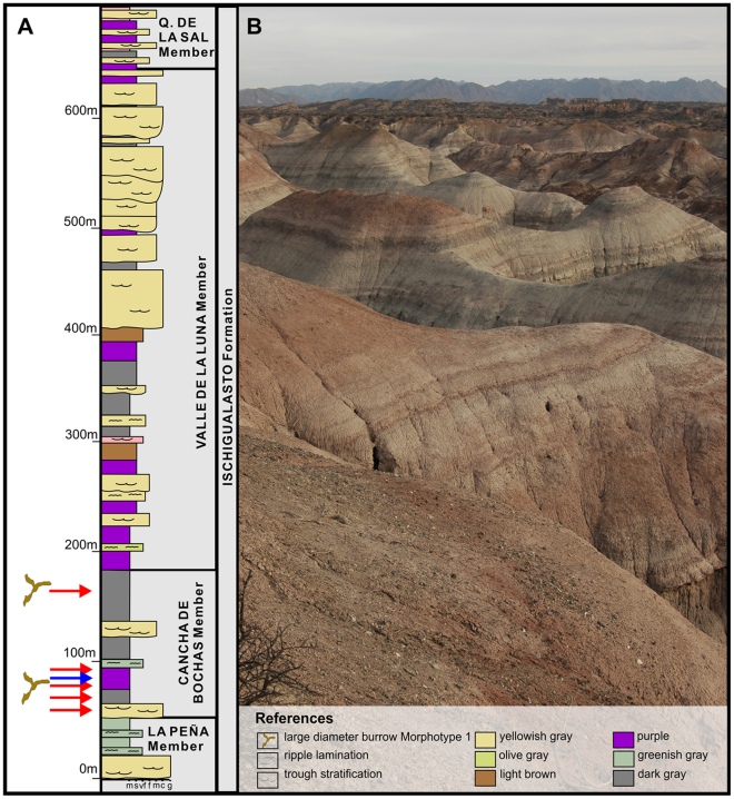 (A) Generalized stratigraphic section of the Ischigualasto Formation. Red arrows indicate the stratigraphic position of the Morphotype 1 burrow casts identified in the Cancha de Bochas Member, while blue arrows indicate the Morphotype 3 burrow casts. (B) Photograph of typical overbank lithologies in the Cancha de Bochas Member that host the observed large-diameter burrows. This is from the same paper cited in the figure above.