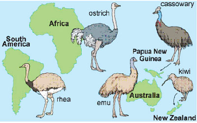 Ratite birds and where they are found. The Moa is not shown here but is an extinct ratite bird New Zealand.