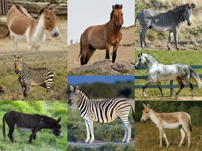 Equus_speciesWik
