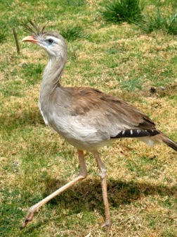 The Red-legged Seriema. A possible relative of the terror birds.  This is all that is left after the invasion of South America by canines and cats (leopards) probably brought an end to the large flightless birds. Image: Wikipedia.