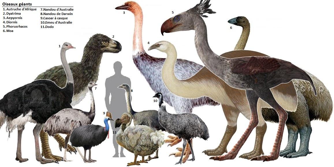 https://naturalishistoria.files.wordpress.com/2013/03/comparison-past-present-giant-birds.jpg