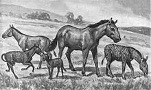 "A recreation of fossil (extinct) ""horses"" showing the various sizes and shapes. All of these would be smaller than the common horse today. Image Credit: Wikipedia"