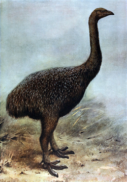 A reconstruction of a moa based on preserved remains of feathers, tissues and bones. Note the lack of any wings.  Image credit: Wikipedia