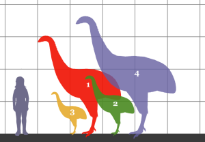 A comparison of the size of four species of Moa with a human.  Image credit: Conty - Wikipedia.