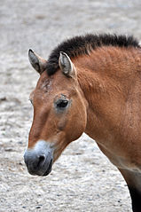 Przewalski's horse.  The only truly wild horse that is most similar to domesticated horses. Image: Wikipedia