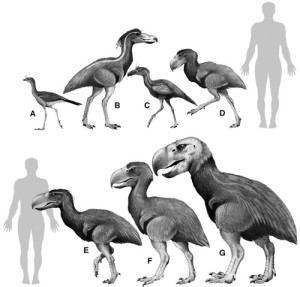 "The first bird (A) is living but the rest are various species of terror birds all of which are extinct.  ""Reconstructions of some phorusrhacids compared to the extant Cariama. (A) Cariama cristata; (B) Mesembriornis milneedwardsi; (C) Psilopterus bachmanni; (D) Andalgalornis steuletti; (E) Phorusrhacus longissimus; (F) Paraphysornis brasiliensis; and (G) Brontornis burmeiteri. A man's silhouette (1.75 m) is used as scale. (Drawing by Eduardo Brettas.)"" From: 'Living dinosaurs : the evolutionary history of modern birds' edited by Gareth Dyke and Gary Kaiser."