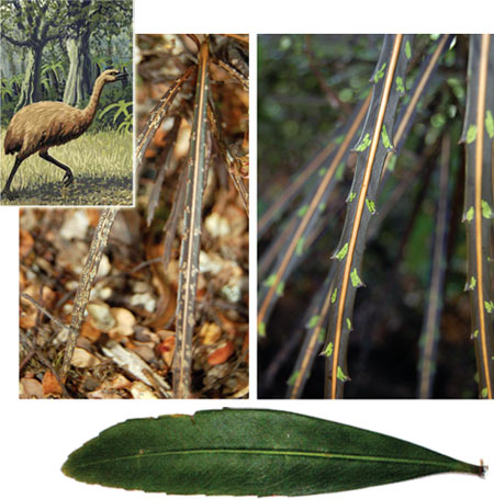 Metamorphosis. Lancewood leaves transform as the tree grows from a seedling (top left) to a sapling (top right) to an adult tree (bottom). The tree may have evolved this changing foliage to evade now-extinct moas (inset illustration). Credit: N. Fadzly et al., New Phytologist (2009); (moa inset) John Megahan