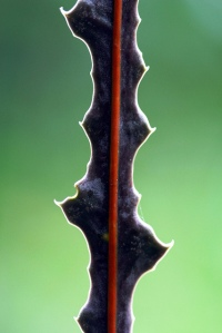 Stem of the juvenile plant of Pseudopanax ferox showing the defensive hardened epidermal extensions.