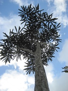 Adult tree of Pseudopanax crassifolius showing large stature and broader leaves. Image credit: wikipedia