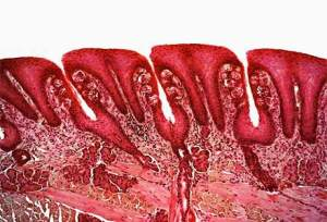 A cross-section of the surface of the tongue showing the pits in the tongue and the taste buds embedded in the walls of the pits.