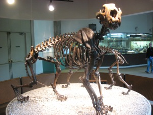 Did y you know that North America had it own lion roaming the plains?   The american lion was very similar to the African lion.   Sabertooth tigers, lama like camels, lots of elephants.   North American lost almost all of its large animals at the beginning of the Younger Dryas or during that time.  A bit sad that we have so few animals alive today compared to past times.  Above is a skeleton of the american lion.