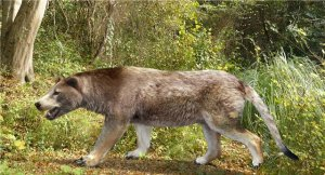 A depiction of the extinct bear dog (Amphicyon). This was one of 30 or more species of members of the bear-dog family that are all extinct. Bones of bear dogs were found in the lower levels of this cave deposit. Click on image for image credit.
