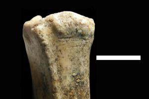A small antelope leg bone with cut marks, indicative of early human butchery practices with stone tools. The tools for making these cuts where also found in the same area. (Credit: Image courtesy of Baylor University)