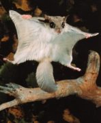 A flying squirrel showing off its gliding ability.  Notice the flattened tail that can act like a rudder.