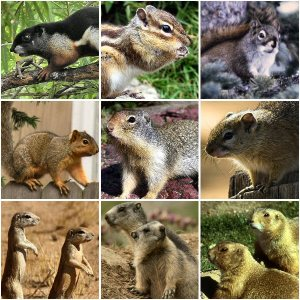 Representatives of the squirrel family.  Image credit: wikipedia