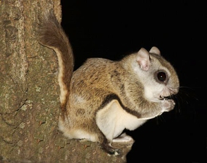 "Southern flying squirrel. The whitish fur covers the skin that expands to form the ""wings"""