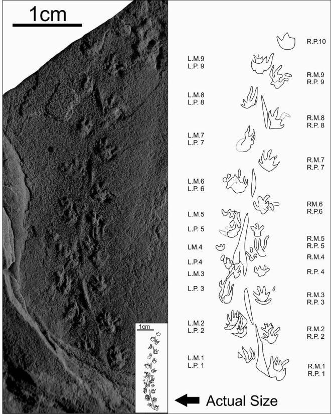 Batrachichnus salamandroides trackway. Click to enlarge. Credit: Gloria Melanson