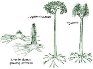 These are the two types of trees for which part are commonly found in the Joggins Fossil Cliffs.  These were very large trees reaching heights of 50 feet or more.  These plants would not have produced rings in wood like flowering plant trees but rather had a very different type of growth pattern.