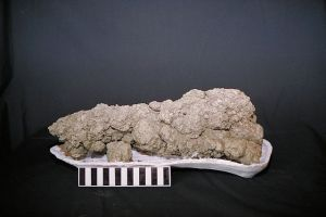 A dinosaur coprolite.  This large dropping was from a carnivore as evidenced by the small bones embedded in the feces. Image credit: Wikipedia