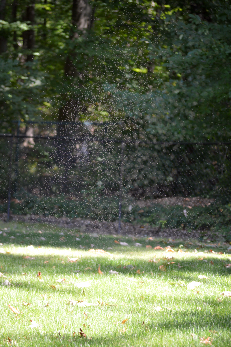 nh photography gnats swarming above grass u2013 naturalis historia