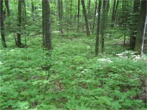 Image left:  A forest without earthworms has a rich understory of herbaceous plants, tree seedlings, and shrubs, and a thick, spongy leaf litter layer. (Photo by Scott Loss)