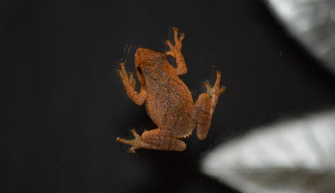Brown tree frog on the glass of our front door at 6 am this morning (Oct 31). Photo: Joel Duff