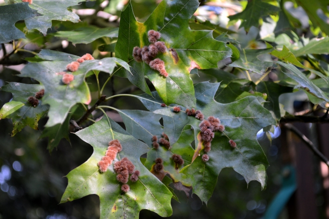Fuzzy reddish galls on the surface of pin oak leaves in my backyard. Image: Joel Duff