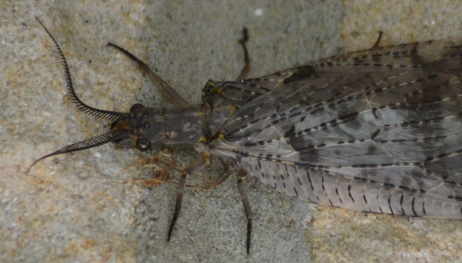Several lacewings have also taken up residence during the day around our front door.  Photo: Joel Duff