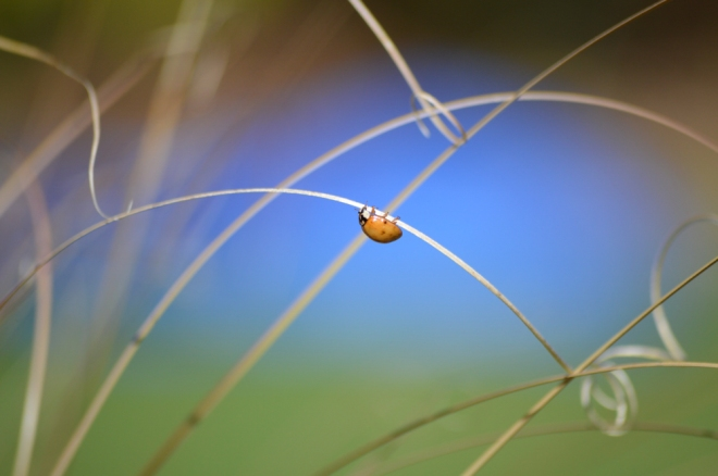 Ladybug on grass. The blue background here is a blue tarp in the backyard which I use to rake leaves onto.  Photo: Joel Duff