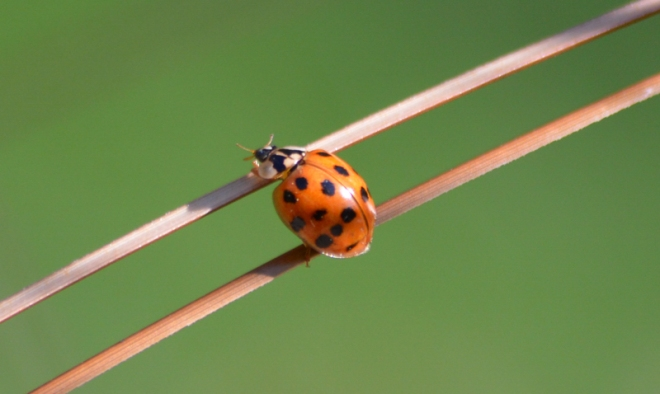 Ladybug on grass. Photo: Joel Duff