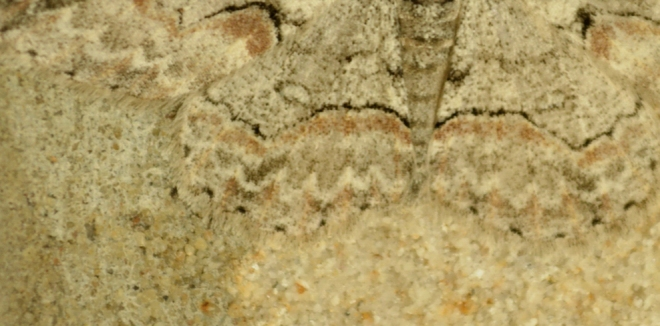 "Do you see the moth?  Several of these have been ""hiding"" on the sandstone blocks around my front door the past month.  Photo: Joel Duff"