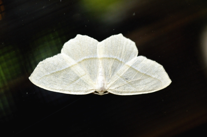 This white moth was waiting out the day our the screen on our front window.  Photo: Joel Duff