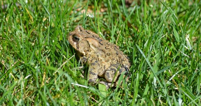 Toad-grass-backyard-2013-ohio