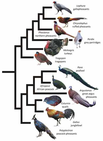 Substantially simplified segment of gamebird phylogeny based on the topology recovered by Bonilla et al. (2010): the key thing to note is that turkeys and peafowl belong to different clades. Images by Naish (Meleagris), in public domain (Afropavo), or licensed under Creative Commons Attribution-Share Alike 3.0 Unported (Footwarrior: Lophura; Bjørn Christian Tørrissen: Chrysolophus; Doug Janson: Tragopan; Dinesh Kannambadi: Pavo; Dante Alighieri: Polyplectron) and 2.0 (Gary Noon: Phasianus; David Galavan: Perdix; Lip Kee Yap: Gallus) and 2.5 Generic (André Karwath: Coturnix) licenses.