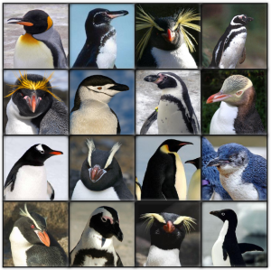 "Pictures of most of the living species of penguins. Young earth creationists consider these all to be members of the same ""kind"" and thus all of these evolved from a common ancestor. Image credit: Wikipedia."