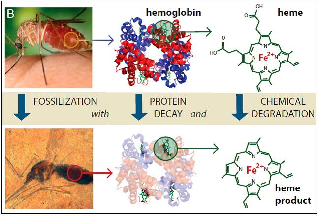 A portion of Figure 1 of Briggs commentary on the mosquito find in the journal PNAS (see references).  Notice that hemoglobin has decayed and only the most stable portions of that large molecule are left in the mosquito and even they are likely chemically altered.