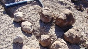 Coprolites from site in Argentina.  Image: Fiorelli - See article by Fiorelli et al,, 2013 http://www.nature.com/srep/2013/131128/srep03348/full/srep03348.html