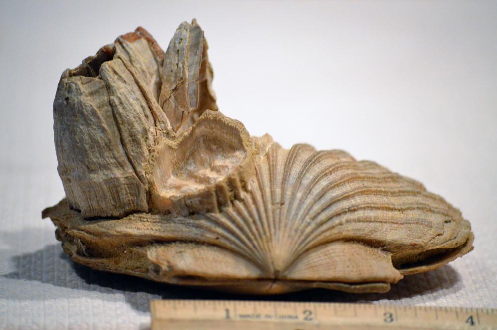 NH Notes: A Fossil Scallop from Calvert Cliffs, MD – Naturalis ...