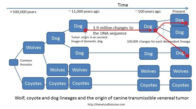 A cartoon of the history of dogs, wolves and coyotes showing that the tumor arose in one line of dogs and then has been passed along to other dogs. The two present day dogs represent the two that were sequenced.  Wolves and coyotes apparently are not effected by the tumor.