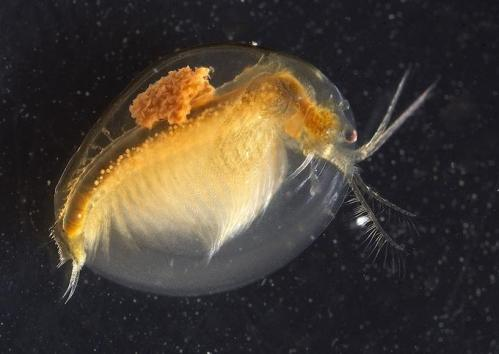 A clam shrimp.  This has a nearly clear carapace (the clam shells) and has a large number of eggs in its brood pouch over its back.